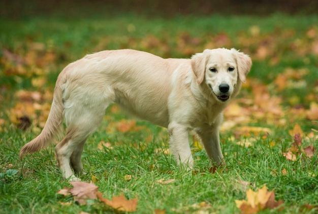 dog personality traits golden retriever