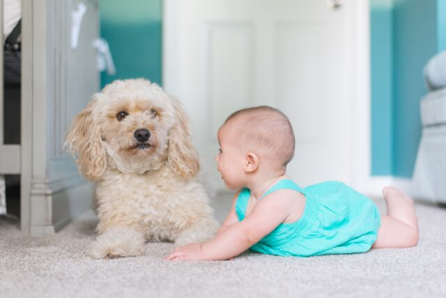 dog personality traits poodle and baby
