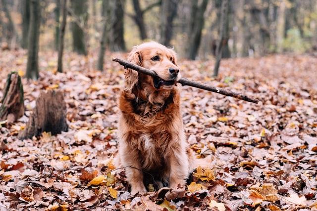 golden retriever fetch stick