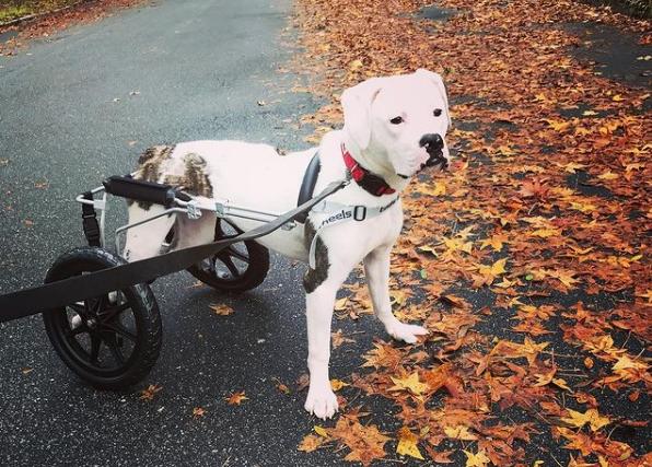 https://ilovemydogsomuch.com/wp-content/uploads/2021/08/Pigeon-wheelchair-dog-featured.png