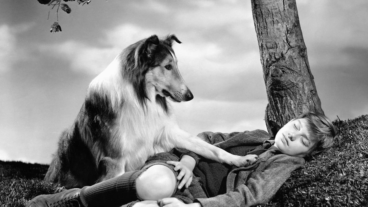 https://ilovemydogsomuch.com/wp-content/uploads/2021/08/lassie.jpg