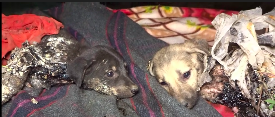 https://ilovemydogsomuch.com/wp-content/uploads/2021/08/rescue-puppies-covered-in-tar-featured.png
