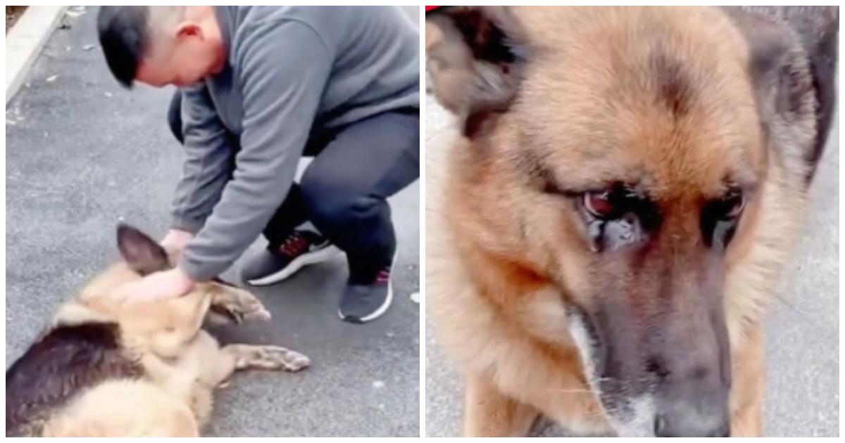 https://ilovemydogsomuch.com/wp-content/uploads/2021/09/German-Shepherd-gets-emotional-reuniting-with-handler.jpg