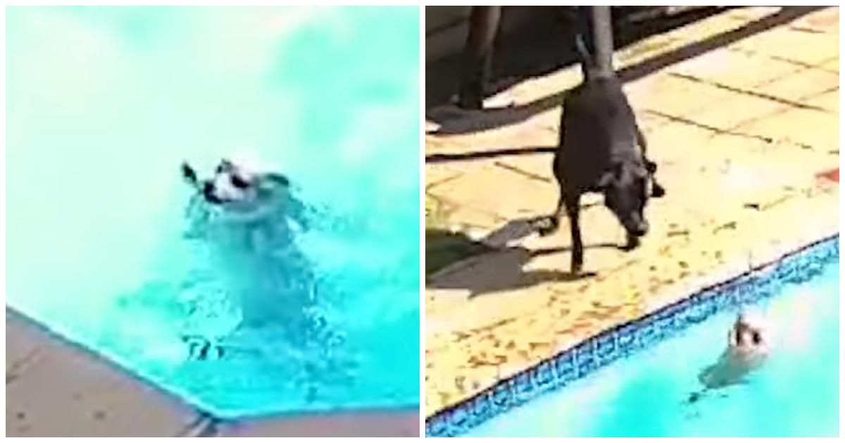 https://ilovemydogsomuch.com/wp-content/uploads/2021/09/black-labrador-saves-drowning-dog.jpg