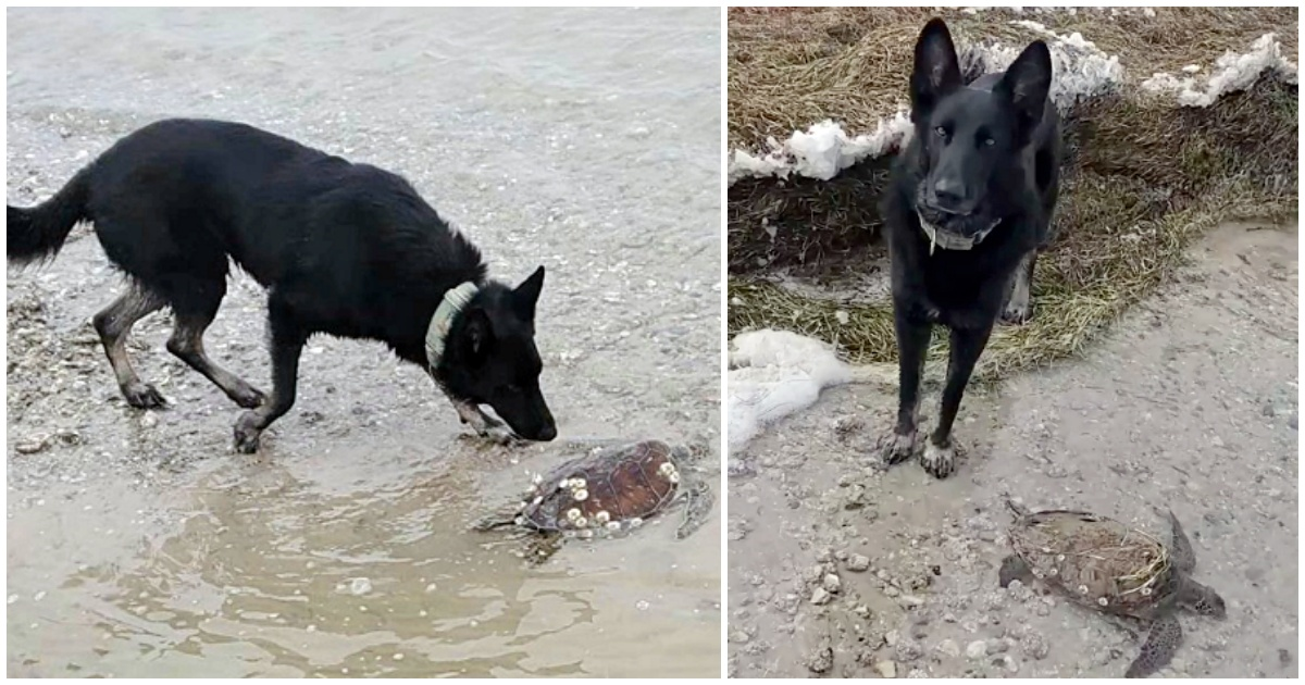 https://ilovemydogsomuch.com/wp-content/uploads/2021/09/german-shepherd-saved-thousands-of-turtles.jpg