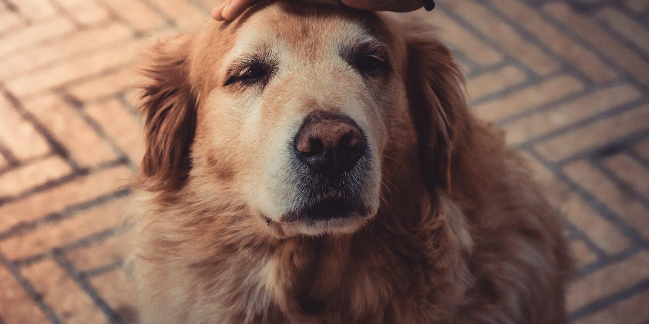 https://ilovemydogsomuch.com/wp-content/uploads/2021/09/good-boy-pat-dog-golden-labrador-1280x640.jpeg
