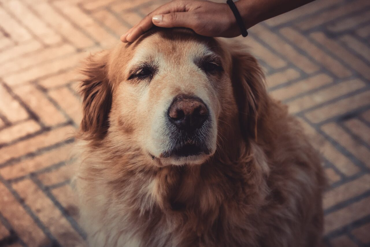https://ilovemydogsomuch.com/wp-content/uploads/2021/09/good-boy-pat-dog-golden-labrador-1280x853.jpeg