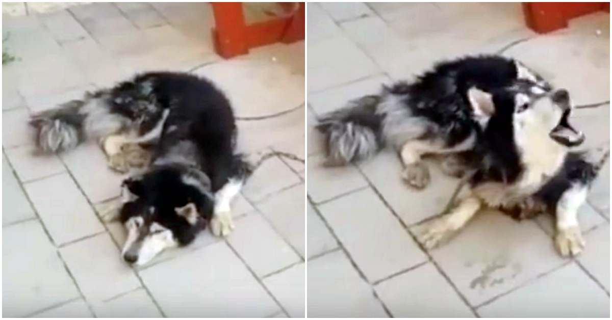 https://ilovemydogsomuch.com/wp-content/uploads/2021/09/lost-husky-found-after-hearing-favorite-song.png