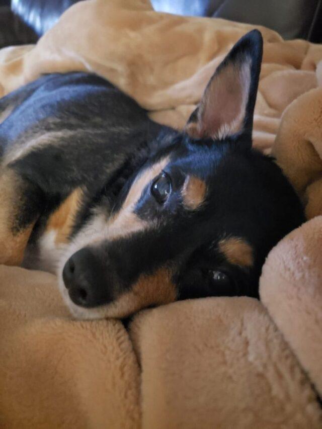 roscoe dog for adoption