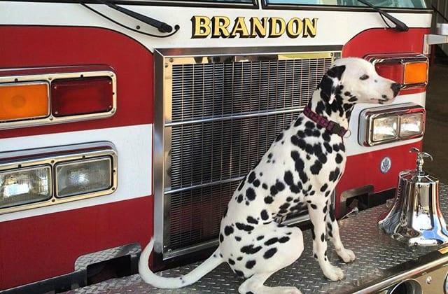 https://ilovemydogsomuch.com/wp-content/uploads/2021/10/chiefthedalmatian-firefighter-dogs.jpg