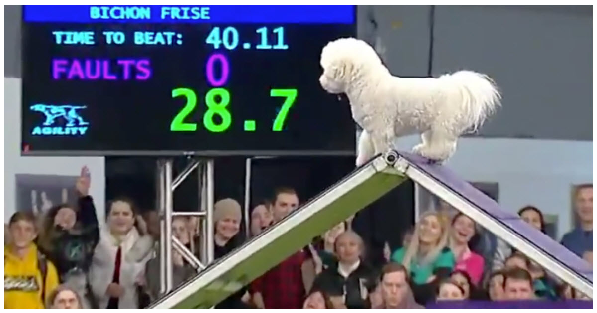 https://ilovemydogsomuch.com/wp-content/uploads/2021/10/dogs-takes-his-time-in-westminster-course.jpg