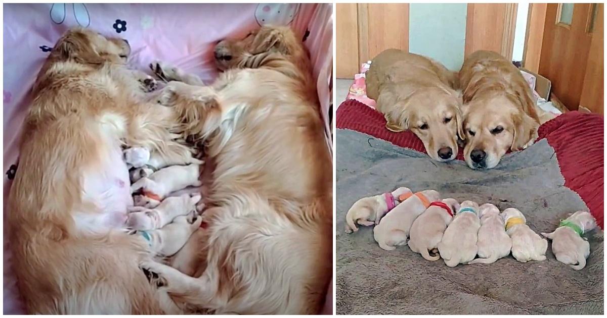 https://ilovemydogsomuch.com/wp-content/uploads/2021/10/golden-retriever-puppies.jpg